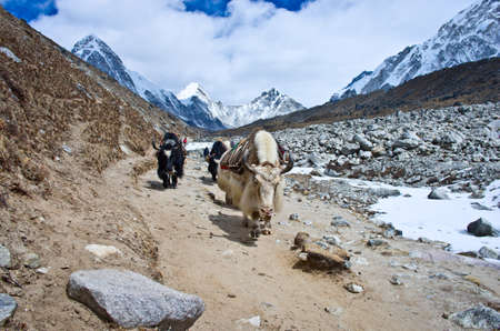 herder: Yak on the trail near Everest Base Camp in Nepal Stock Photo