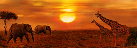 Elephants and Giraffes at African Sunset Background