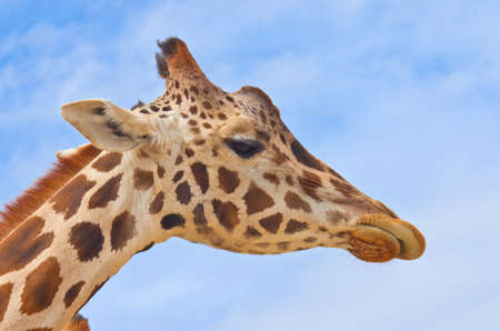 giraffe in savanna against the blue sky