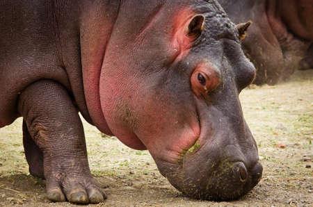 Hippo (Hippopotamus amphibius) close up Stock Photo