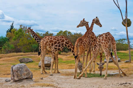 giraffes in the zoo.