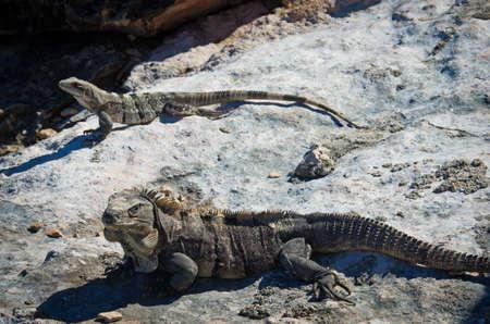 Iguana on the rocks. Isla Mujeres, Mexico Stock Photo