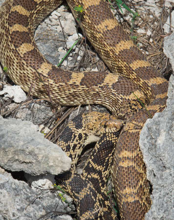 mating of bullsnake (Pituophis catenifer sayi ) in Yellowstone National park