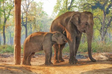 네팔 Chitwan의 코끼리 사육 센터