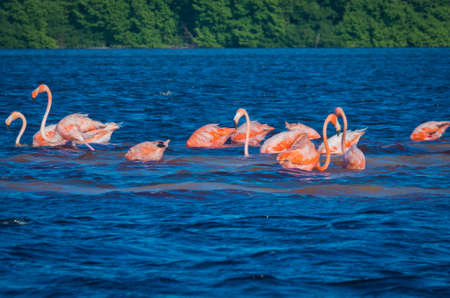 pink flamingos (phoenicopterus ruber) in Celestun, Mexico Stock Photo