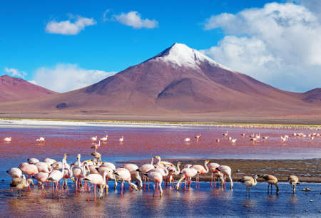flamingos in Laguna Colorada , Bolivia