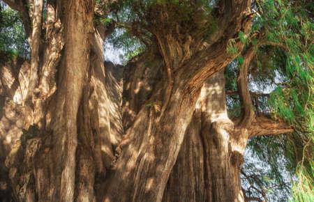 Arbol del Tule ( The Tree of Tule), a giant sacred tree in Tule. It is a Montezuma cypress (Taxodium mucronatum), Oaxaca, Mexico