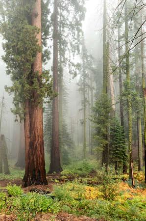 Alberi di sequoia gigante nel Parco Nazionale di Sequoia, California, USA