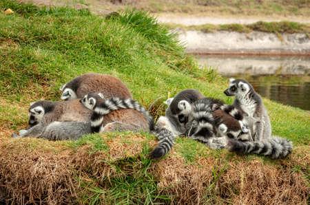 lemurs in the grass, Ring-tailed Lemur (Lemur catta)