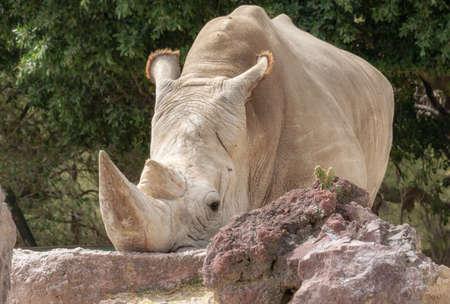 White rhinoceros or square-lipped rhinoceros (Ceratotherium simum) Stock Photo