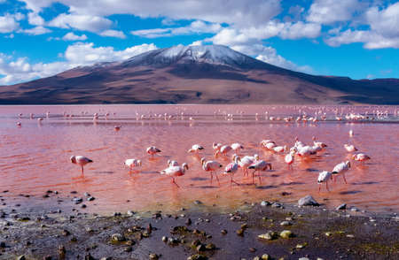 Flamingos in Laguna Colorada , Uyuni, Bolivia 版權商用圖片