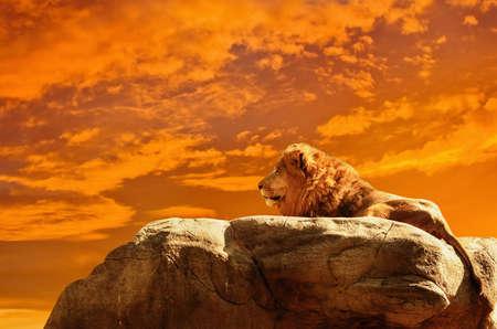 Leeuw bij zonsondergang Afrikaanse achtergrond Stockfoto