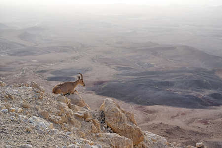 Ibex on the cliff at Ramon Crater in Negev Desert in Mitzpe Ramon, Israel 免版税图像