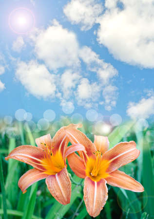 lilia: Beautiful lily flowers background with lens flare effect