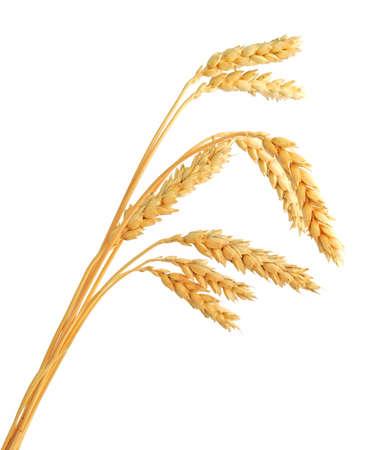 wheat crop: Los tallos de espigas de trigo aislado en el fondo blanco Foto de archivo
