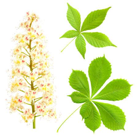 Chestnut isolated on white  Aesculus hippocastanum  Blossom of horse-chestnut tree