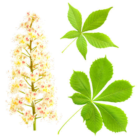 aesculus hippocastanum: Chestnut isolated on white  Aesculus hippocastanum  Blossom of horse-chestnut tree