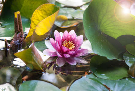 lilia: Beatiful water lily with leans flare Stock Photo