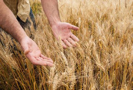 cornfield: Male hand touching wheat