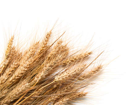 Spikelets of wheat  isolated on white Stock Photo