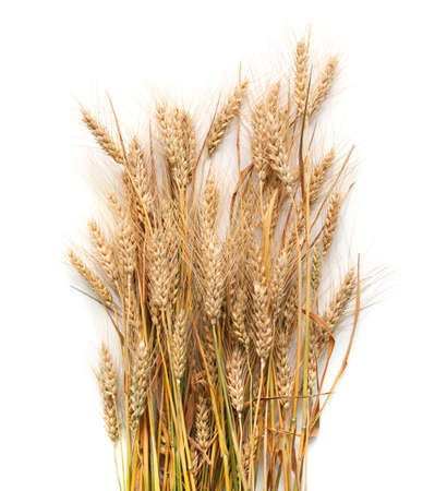 spikelets: Spikelets of wheat  isolated on white Stock Photo