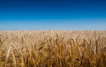 Background of wheat ears and blue sky. Metaphorical Flag of Ukraine photo
