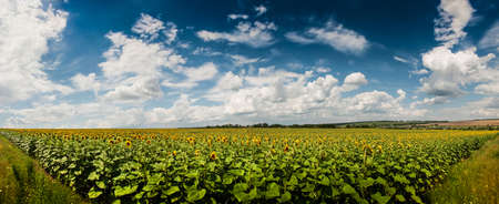 Field of sunflowers. Landscape with village in the distance photo