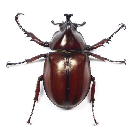 Beetle of Thailand  photo