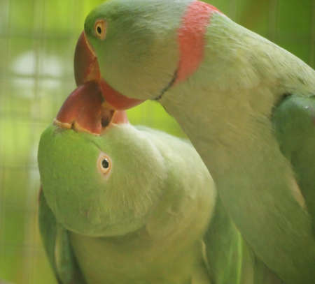 Kiss bird photo