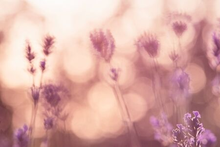 CLose up of lavender flowers in sunset.