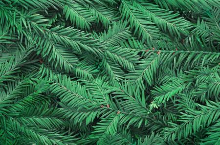 Hintergrund von Weihnachtsbaumasten. Fröhliche Weihnachten. Standard-Bild - 89436392