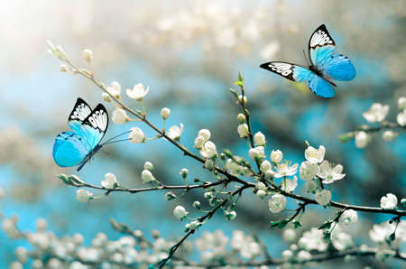 Cherry blossom in wild and butterfly. Springtime.