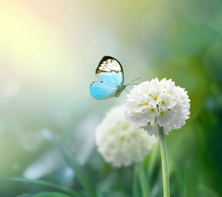 White scope flowers with green grass background and butterfly.