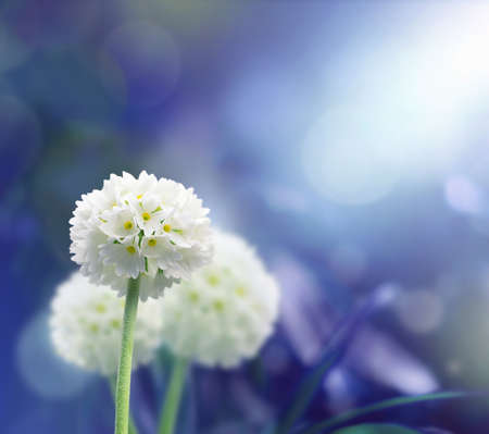 White scope flowers with blue plant background.