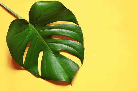 Tropical jungle Monstera leaf isolated on yellow background.