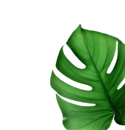 Tropical jungle Monstera leaf isolated on pink background. 免版税图像