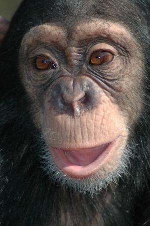 troglodytes: Young chimpanzee (Pan troglodytes)