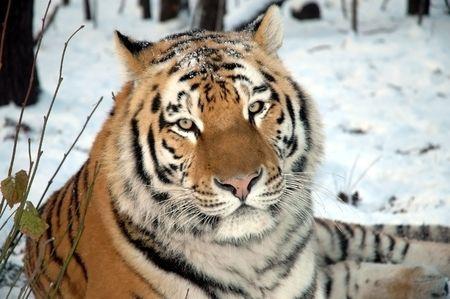 Siberian tiger (Panthera tigris altaica) photo