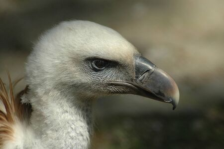 Griffon vulture (Gyps fulvus) photo