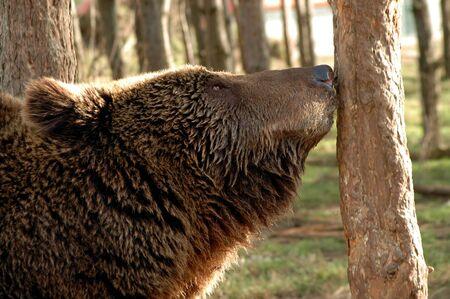arctos: Brown bear (Ursus arctos arctos)