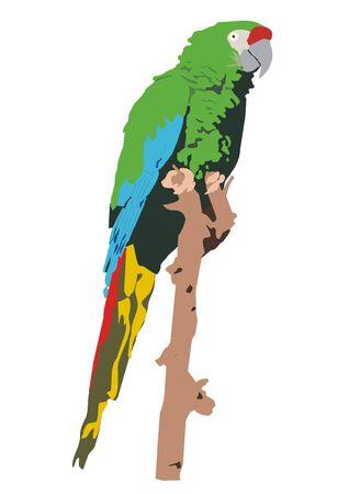 ara: Mexican military macaw (Ara militaris mexicana)