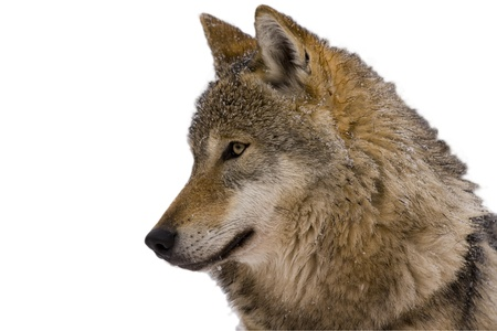 Isolated portrait of a wolf with white background