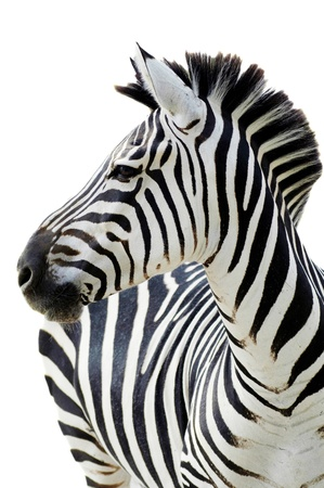 lates: Grants zebra (Equus quagga boehmi) isolated