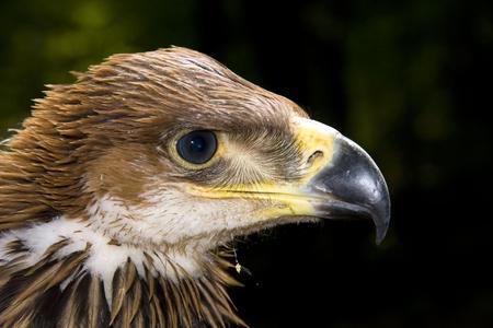 Joven águila imperial (Aquila heliaca) Foto de archivo