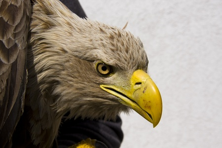 White-tailed eagle (Haliaeetus albicilla) Stock Photo - 11762723