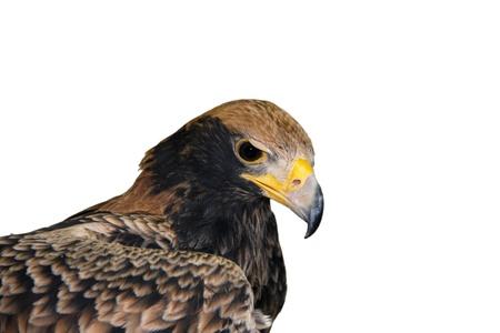 Verreauxs eagle (Aquila verreauxii)
