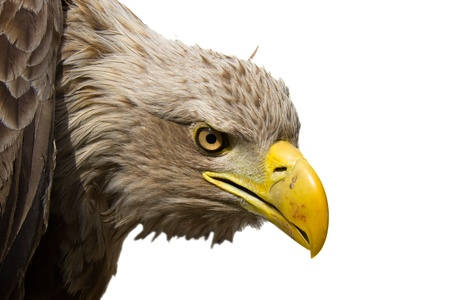 White-tailed eagle (Haliaeetus albicilla) isolated Stock Photo - 11762718