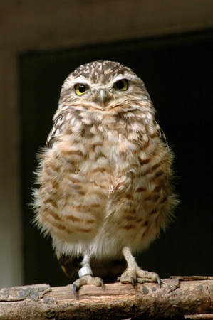 Burrowing Owl (Athene cunicularia) photo