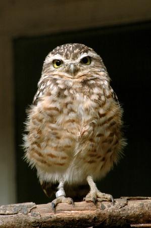 Burrowing Owl (Athene cunicularia) Standard-Bild