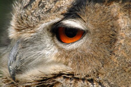 European eagle owl (Bubo bubo bubo) photo